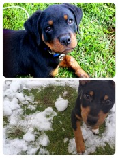 Rottie puppies collage - for feature image