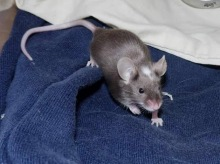 Mice, Rats, Exotics, Pet Visits in Chesterfield